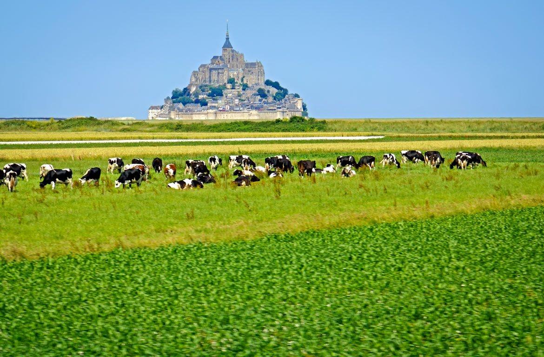 Vacas a pastar no Monte Saint-Michel, em França
