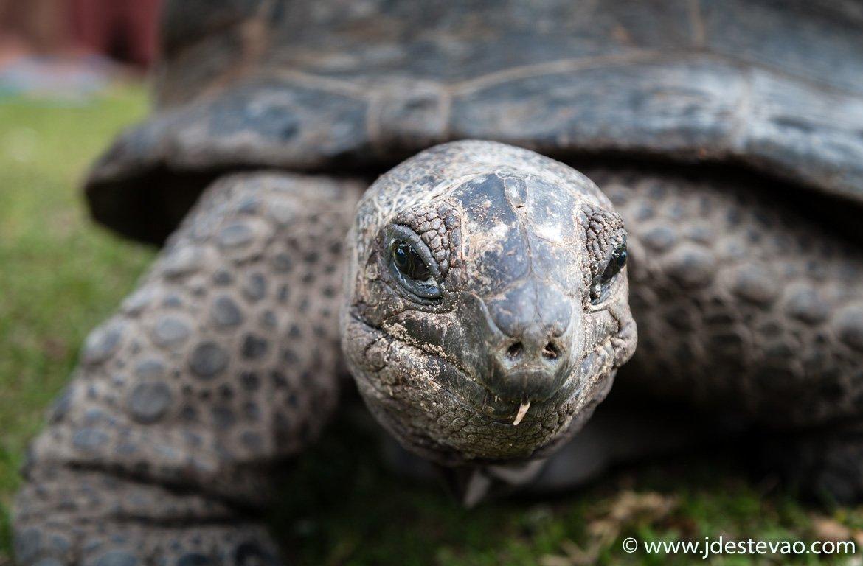 Tartaruga gigante Aldabra, Ilha Curieuse, Seychelles