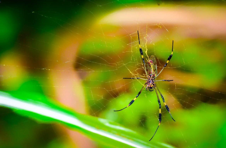 Aranha no Parque Nacional Corcovado, Costa Rica.