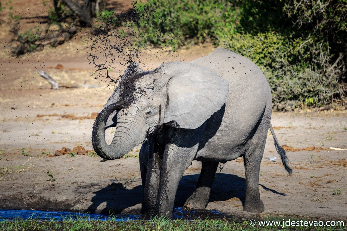 Elefante banha-se com lama, no Parque Nacional do Chobe, Botswana