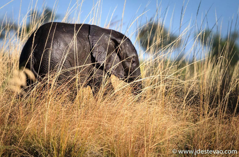 Elefante Botswana