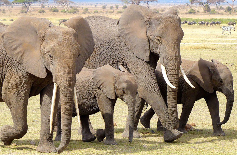 Manada de elefantes no Parque Nacional de Amboseli, Quénia