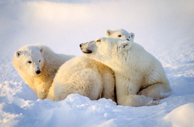 Família de urso polares a brincar na neve, em Churchill, Canadá
