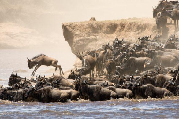 Migração de gnus a atravessar o rio Mara, Masai Mara, Quénia