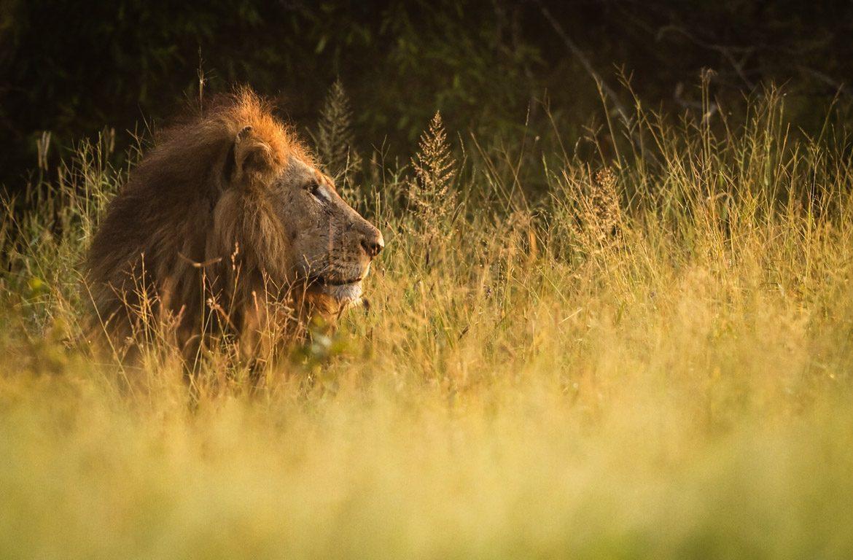 Retrato de leão selvagem no Parque Nacional Kruger, na África do Sul