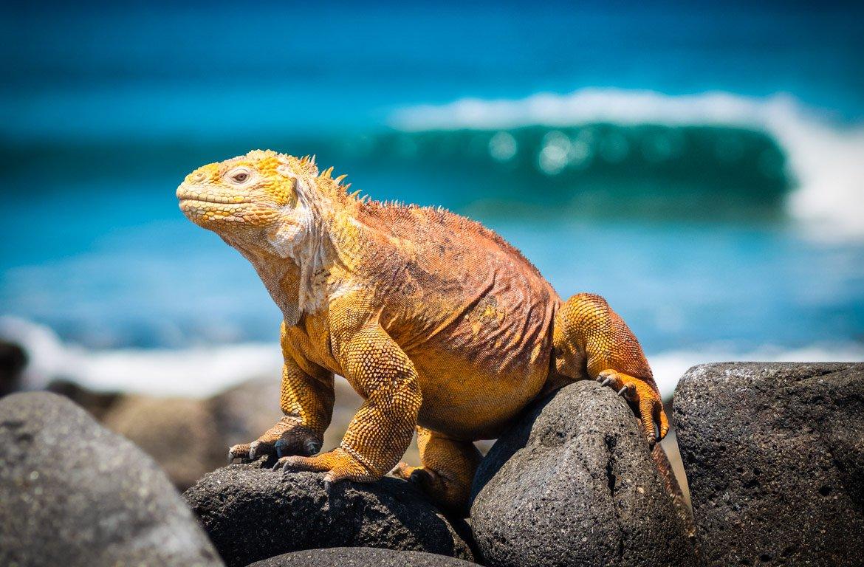 Iguana nas Ilhas Galápagos, no Equador