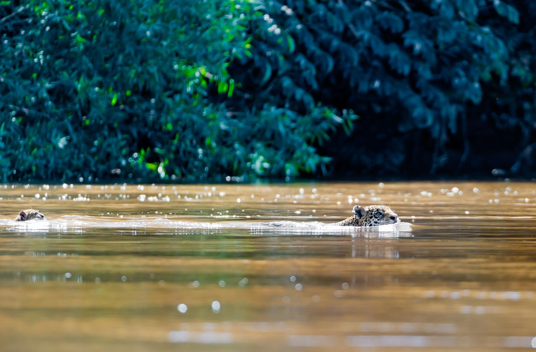 Jaguar na água no Pantanal, Brasil, Bolívia e Paraguai