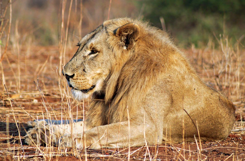 Leão a descansar no Parque Nacional de Ruaha, Tanzânia, África