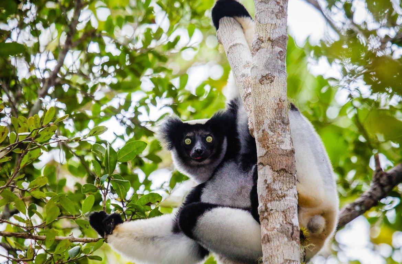 Lémure Indri, Parque Nacional de Andasibe-Mantadi, Madagáscar