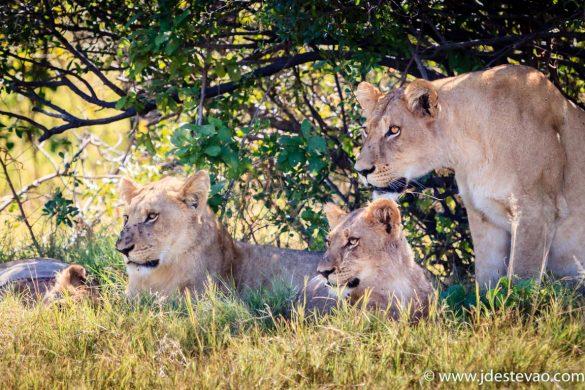 Alcateia de leões, no Parque Nacional do Chobe, Bostwana