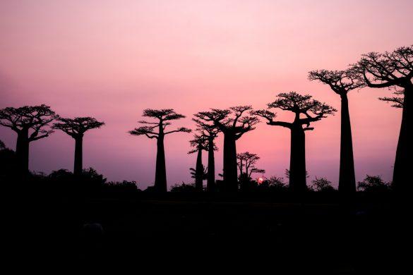 Pôr-do-sol- na famosa Avenida dos Baobás (Adansonia digitata), em Madagáscar.