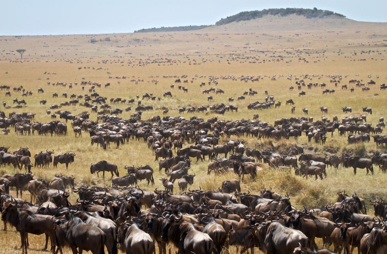 Migração de gnus no Serengeti, na fronteira com o Quénia