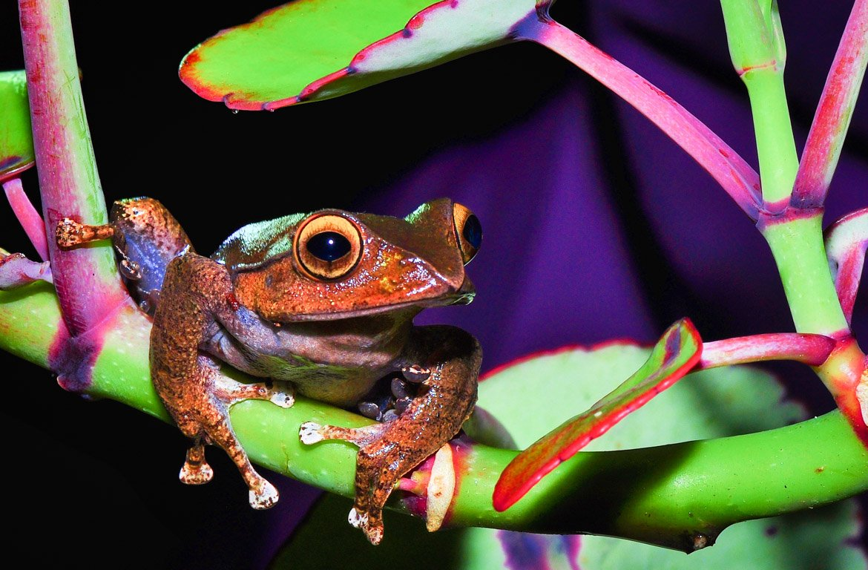 Sapo no Parque Nacional de Ranomafana, Madagáscar