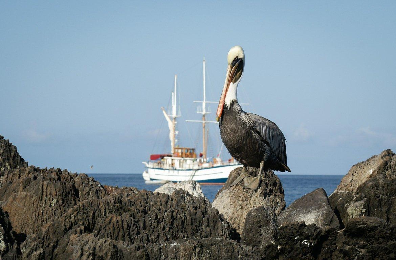 Pelicano nas Ilhas Galápagos, no Equador
