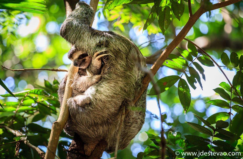 Preguiça-de-dois-dedos, Parque Nacional Manuel António na Costa Rica