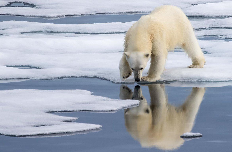 Urso polar em Svalbard, Ártico, Noruega