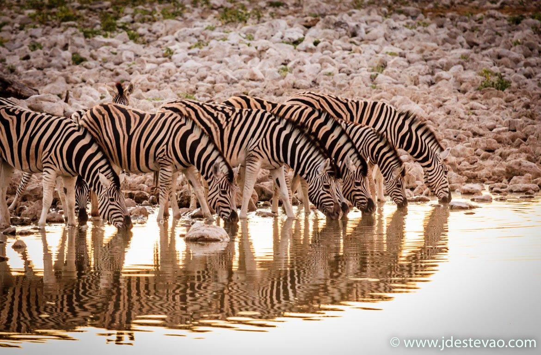 Zebras a beber no charco do Parque Nacional Etosha, na Namíbia