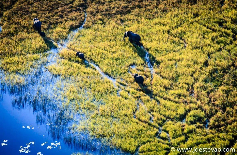 Uma manada de elefantes atravessa os pântanos do Delta do Okavango, Botswana.
