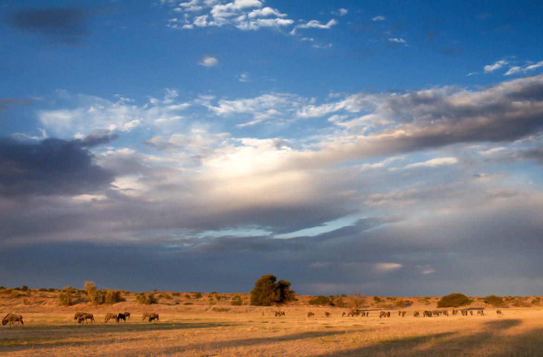 Migração gnus, rio Auob, no Parque Nacional Kgalagadi, África do Sul, Namíbia e Botswana