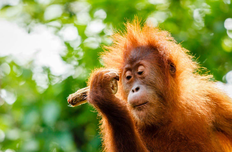 Orangotango-de-Bornéu, Indonésia