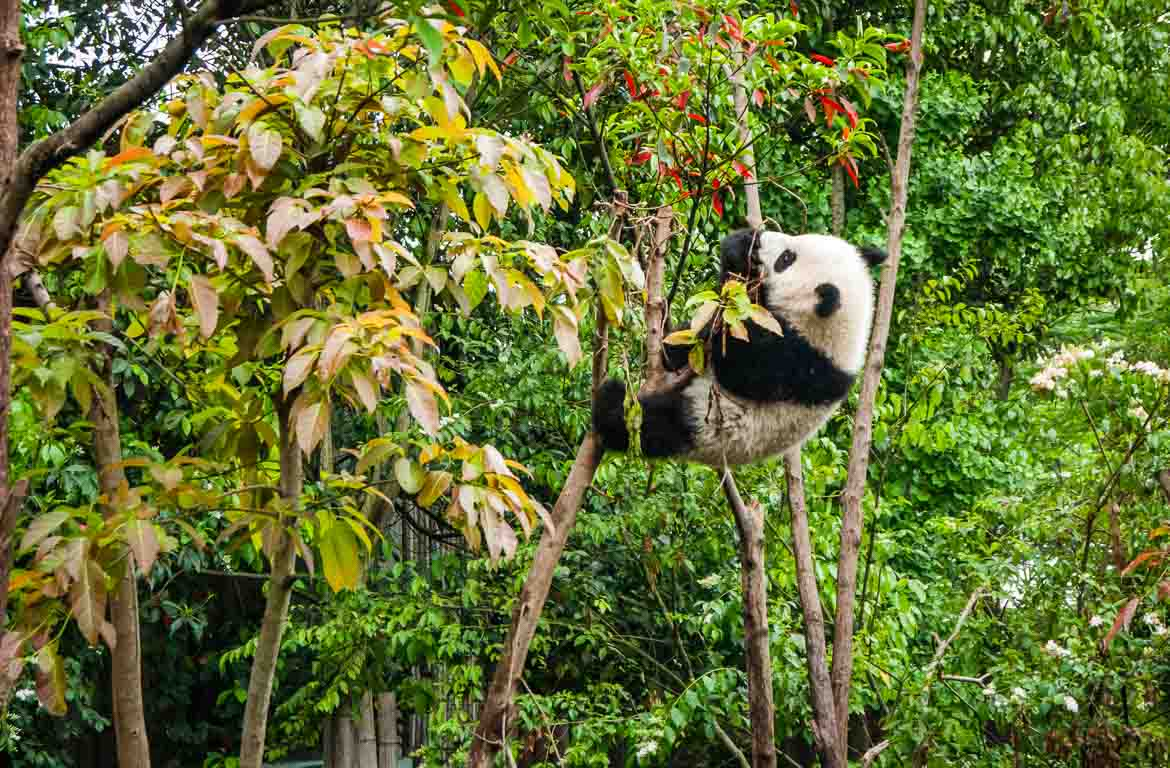 panda-gigante-chengdu-china-3-1170-768