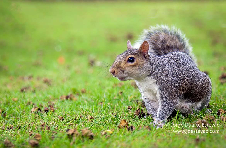 Esquilo em Hyde Park