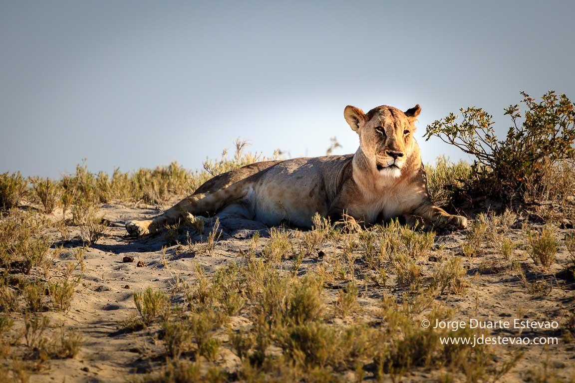 Leoa em safari no Etosha