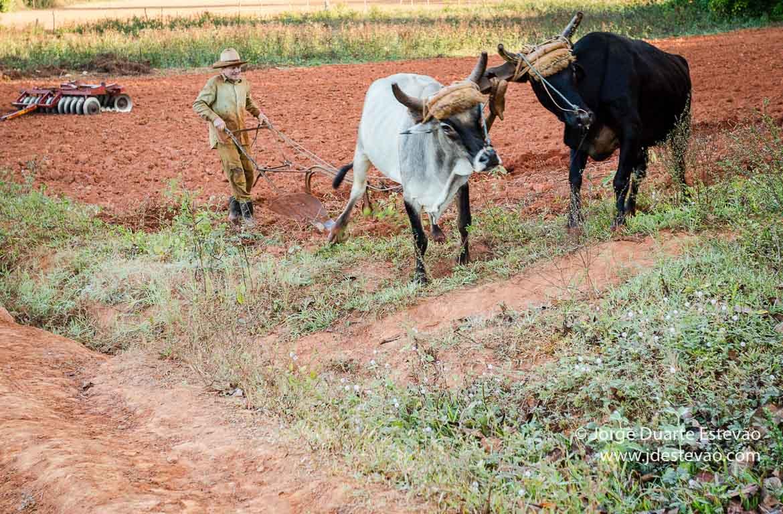 Gado no Vale de Viñales, Cuba