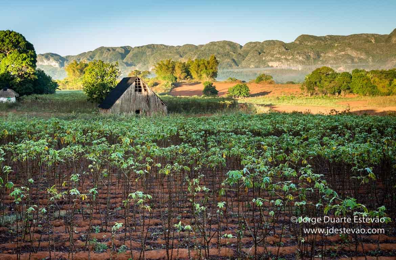 Plantação de Tabaco em Viñales, Cuba