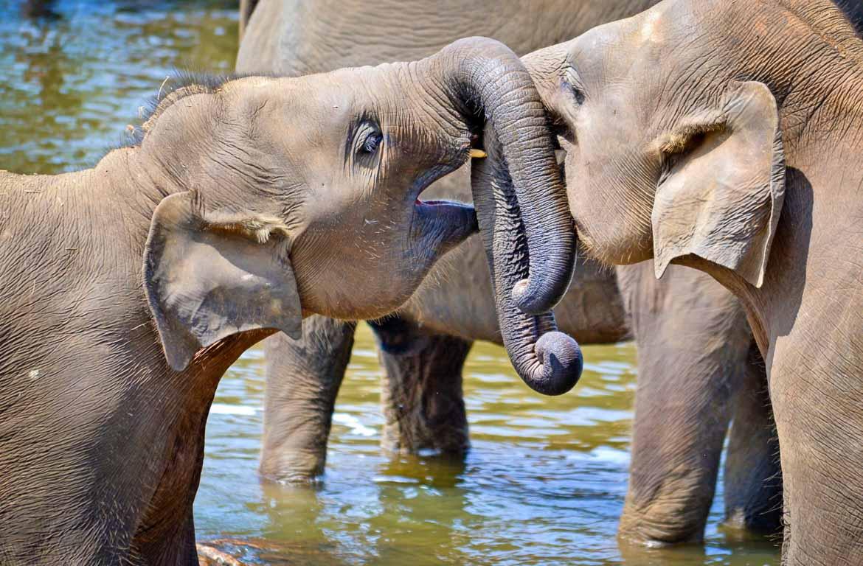 Elefantes no Sri Lanka