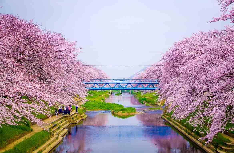 cerejeiras-em-flor viajar na primavera