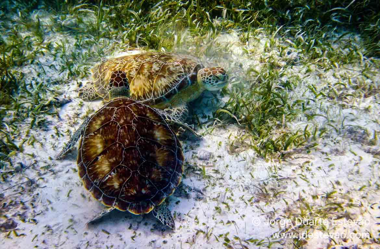 Tartarugas gigantes, Belize