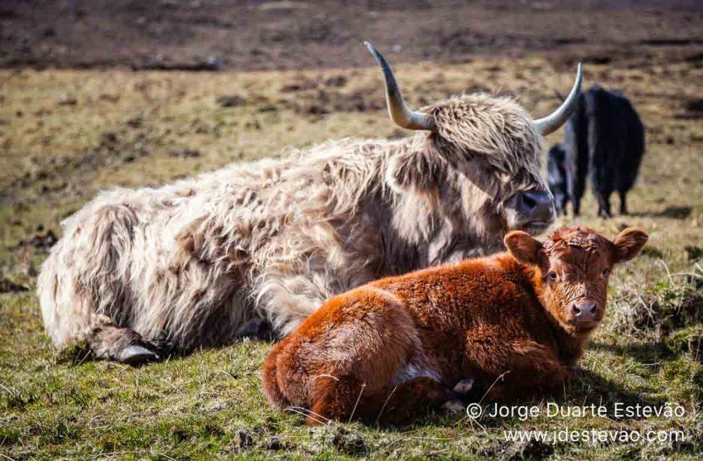 Vacas Highland, Escócia