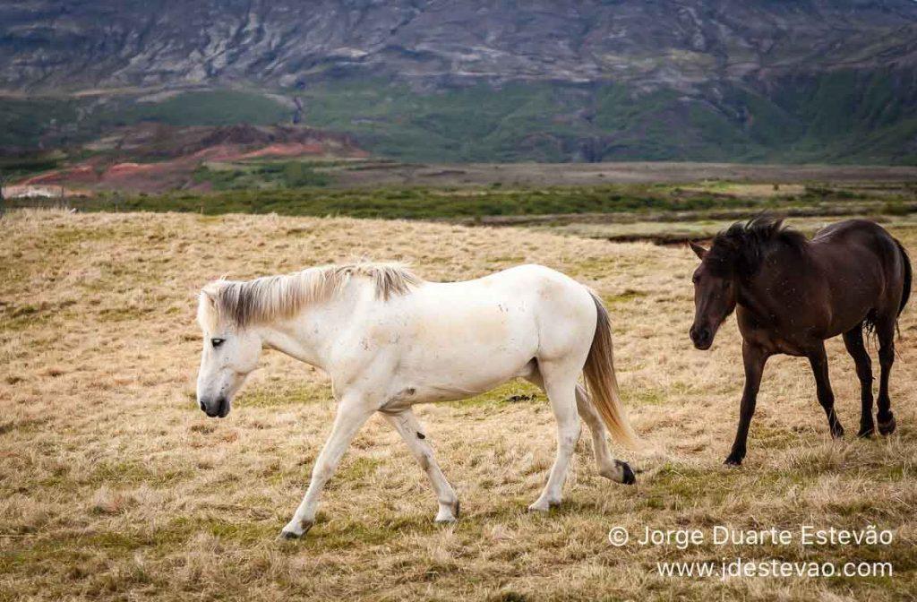 Cavalos islandeses, Islândia