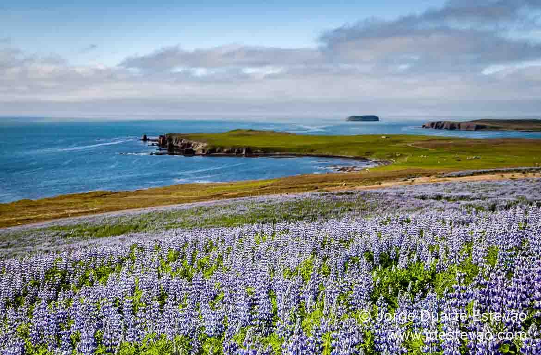 Flores na Islândia