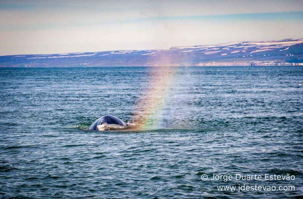 Observação de baleias, Húsavik, Islândia